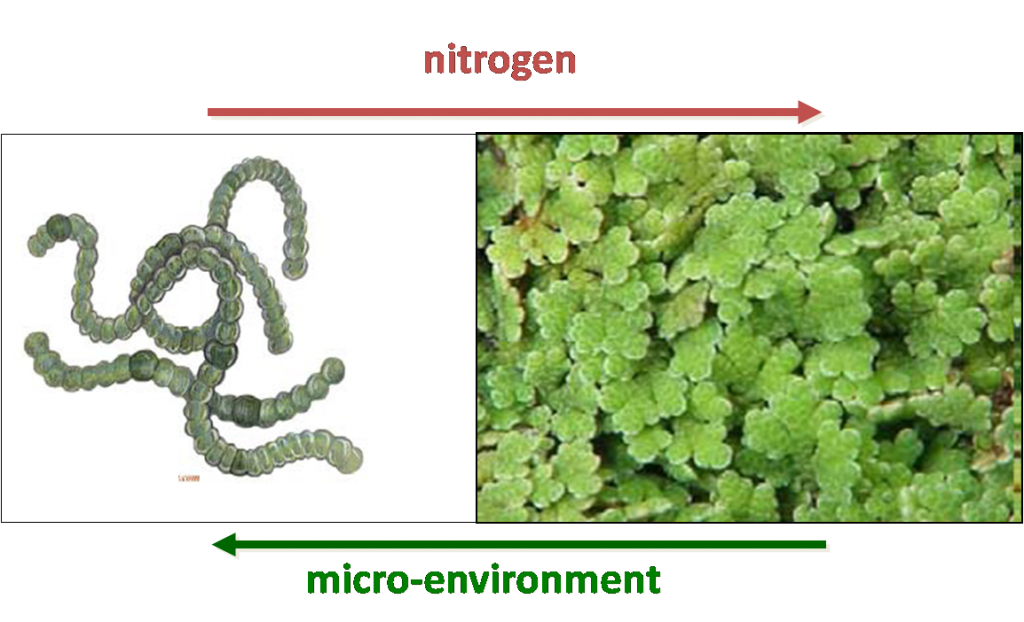 The Azolla-Anabaena symbiosis