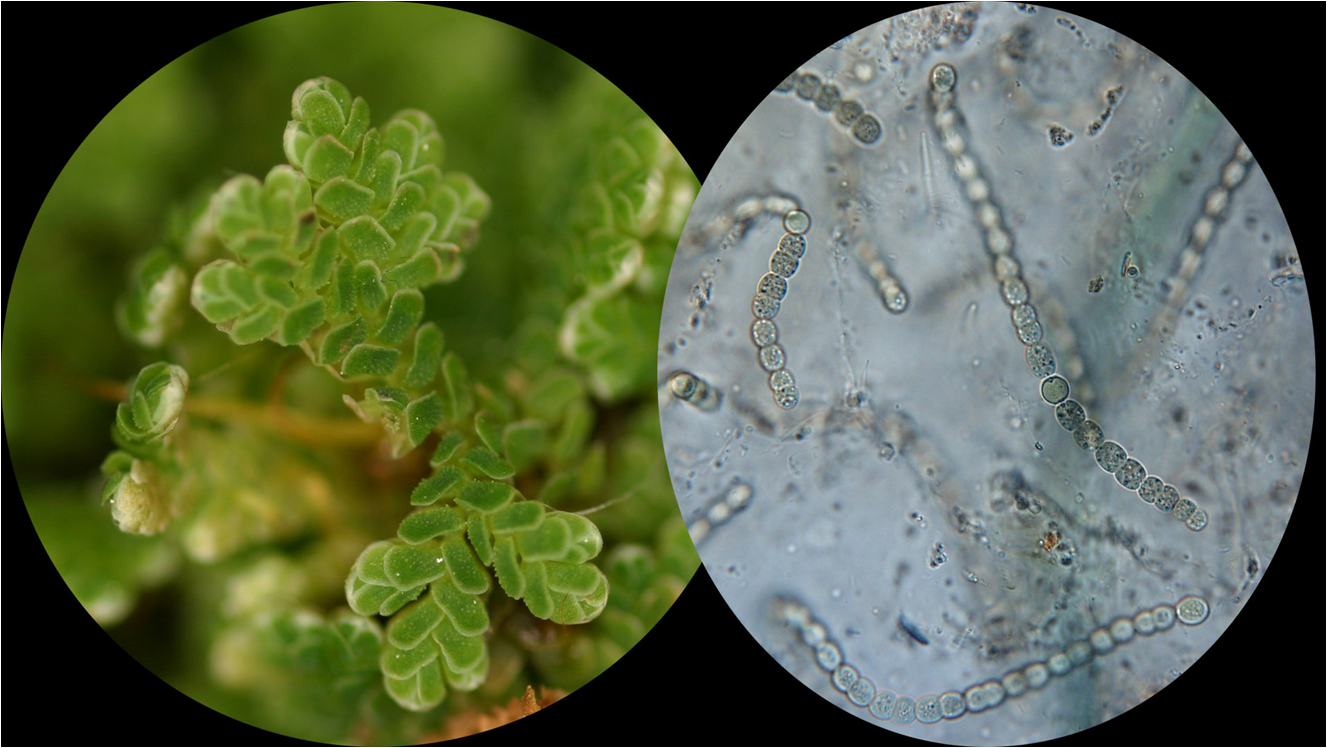 Azolla (left and its endosymbiont Anabaena (right).  Image courtesy of the University of Wisconsin Department of Botany: http://botit.botany.wisc.edu/Resources/Botany/Bacteria/Anabaena/Azolla%201.jpg.html