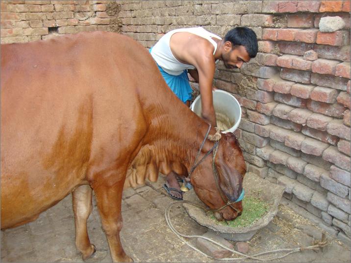 Livestock feed | The Azolla Foundation