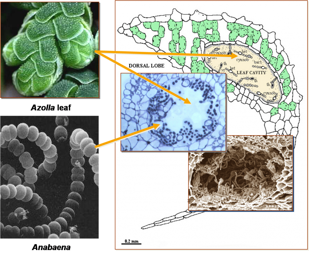 Azolla's leaf cavities provide an oxygen-free home for Anabaena. Figure modified from Carrapiço (2001).