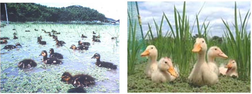 Left: co-culture of Azolla-rice-duck (Space Agriculture Meeting, Japan 2007). Right: Takahashi Furuno's farm in Kyushu, Japan