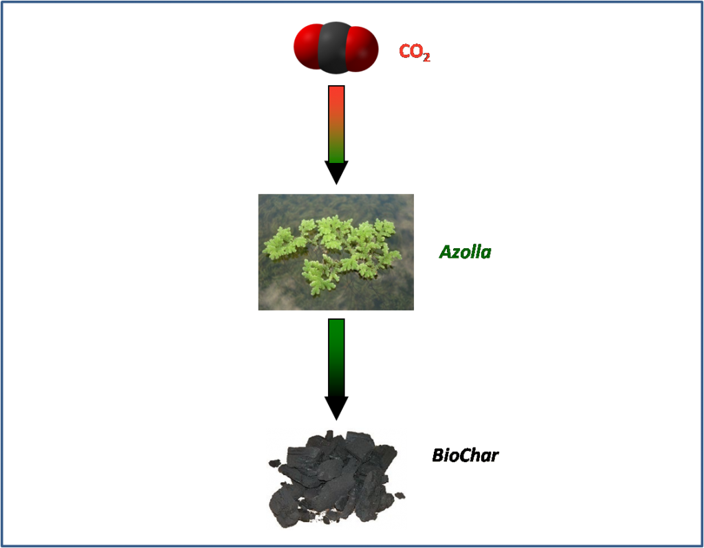 Azolla's biological sequestration of atmospheric CO2.