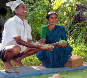 Mahadevappa and Gauramma are enthusiastic about using Azolla as a livestock feed