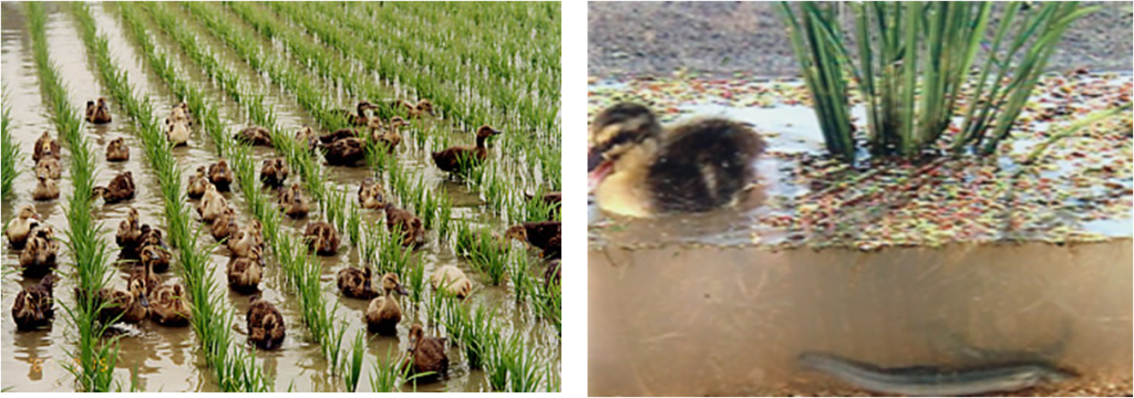 Dr Takahashi's integrated farming methos. Left. Ducks, rice and Azolla. Right Ducks, rice, Azolla and loach.