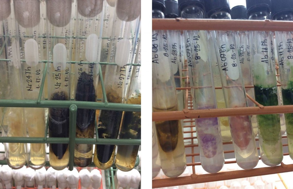 Free-living Anabaena in IRRI's germplast colection