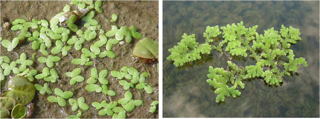 Comparison of Lemna (left) and Azolla (right)