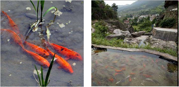 Rice-Azolla-fish farming in Zhejiang Province,