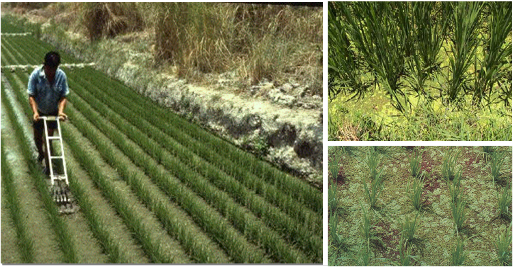 Left: Farmer inoculating a rice paddy with Azolla. Right: Azolla growin beween rice plants.