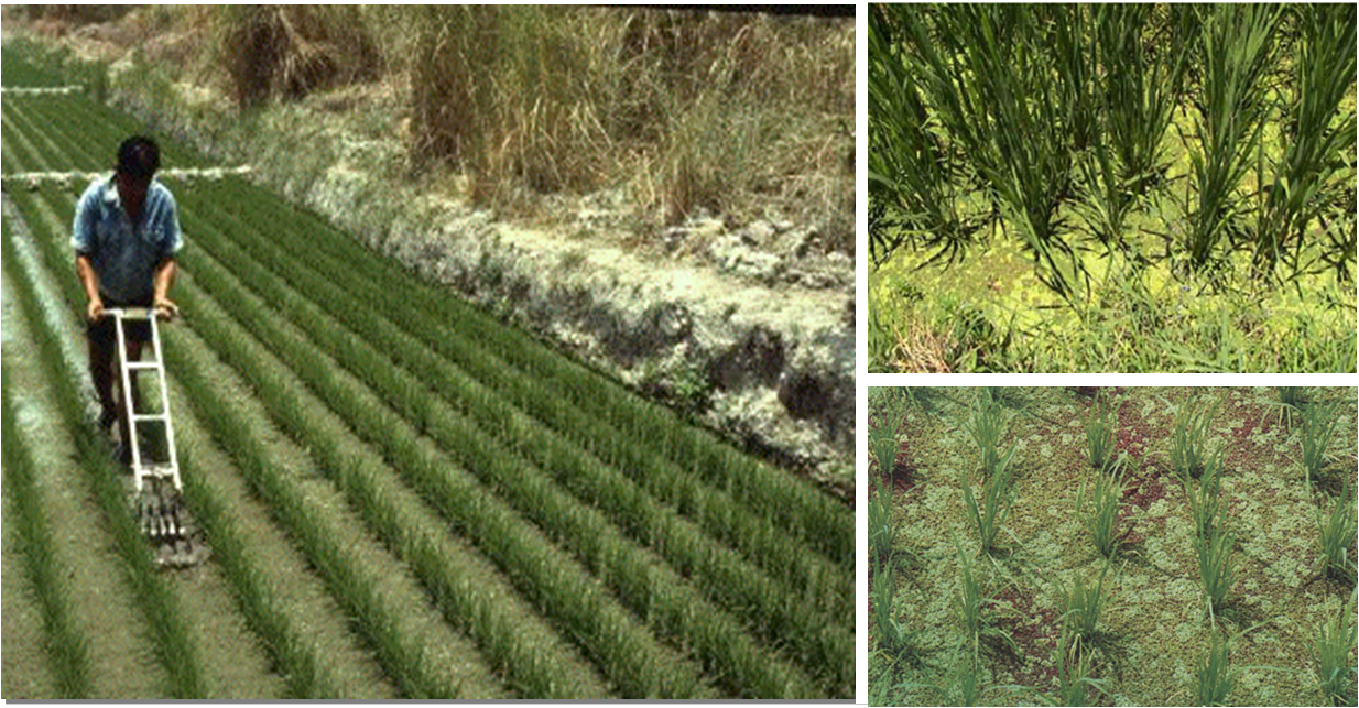 Rice production   The Azolla Foundation