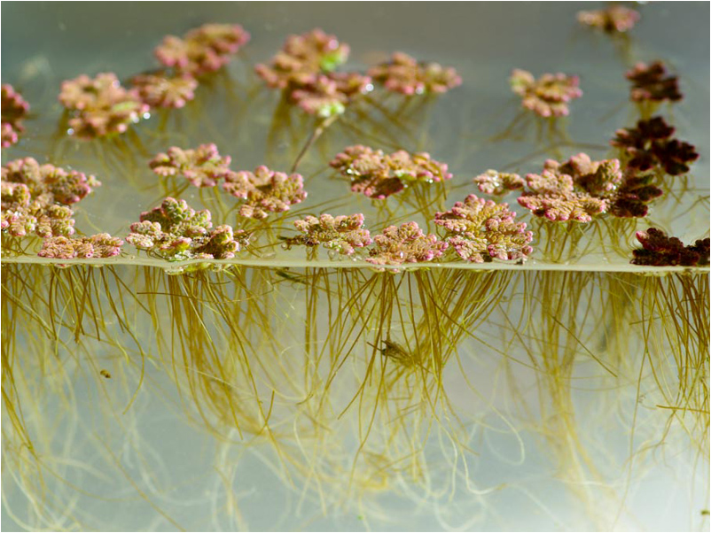 Azolla grlowing free-floating on freshwater. Image from the Ecolink website.