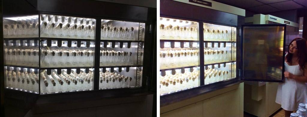 Alexandra Bujak examining IRRI's Azolla germplast collection