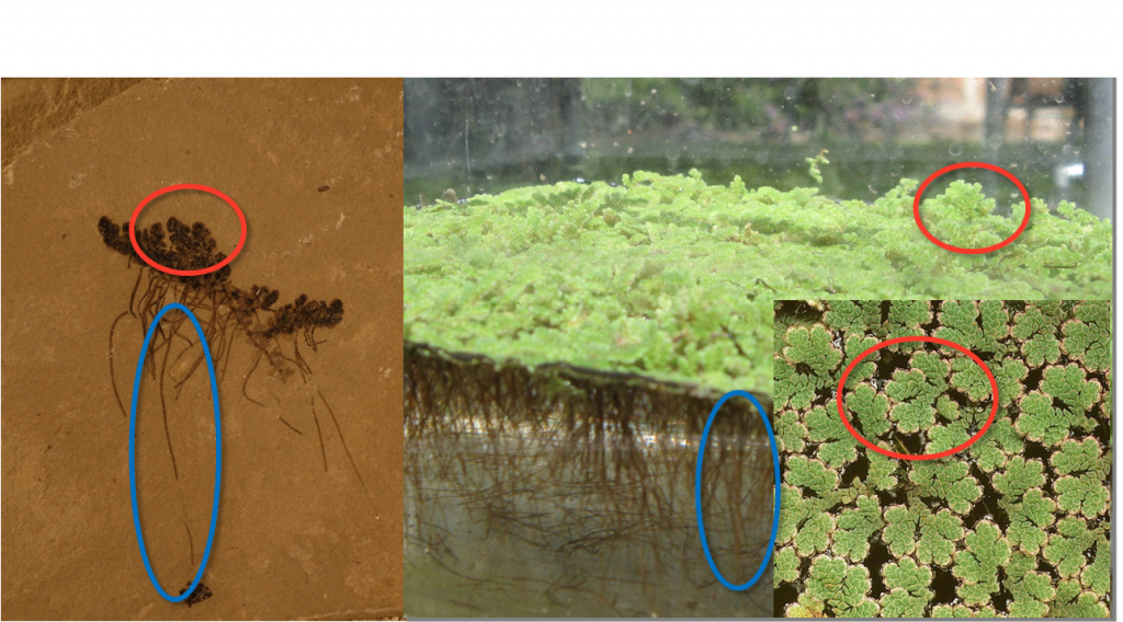 Fossil Azolla (left) has leaves (circled above in red) and tendrils (circled in blue) that are identical to those of modern Azolla (right). The illustrated fossil is from the Green River Formation of Garfield County, Colorado, dated between 50.5 and 55.5 Ma (million years). The photograph was kindly provided by Dr Ian Miler of the Denver Museum of Nature and Science.The illustrated fossil is from the Green River Formation of Garfield County, Colorado, dated between 50.5 and 55.5 Ma (million years). The photograph was kindly provided by Dr Ian Miler of the Denver Museum of Nature and Science.