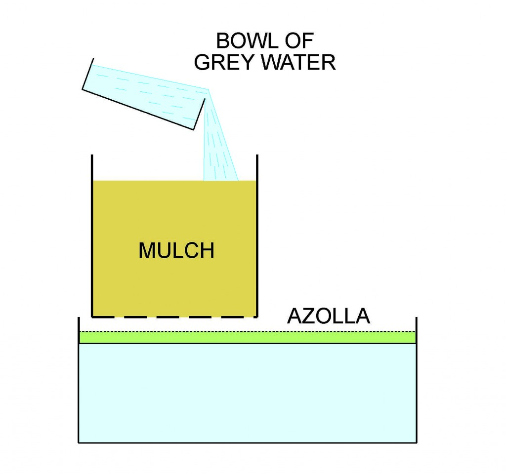 Adding grey water to mulch above a container of water with Azolla floating on the surface.